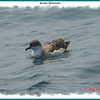 Greater Shearwater - July 27, 2007 - Brier Island, NS