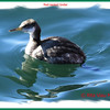Red-necked Grebe - March 1/14 - Point Pleasant Park, Halifax, NS