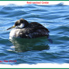 Red-necked Grebe - March 1, 2014 - Point Pleasant Park, Halifax, NS