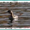 Pied-billed Grebe - November 4, 2012 - Sullivan's Pond, Dartmouth, NS