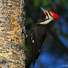 Male Pileated in Nest Tree