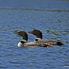 Loon couple on swim around the lake.