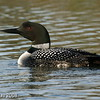 Common Loon at North Twin Lake NW Wisconsin