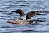 Pair of Loons on the Ausable River, Cooke Dam Pond.
