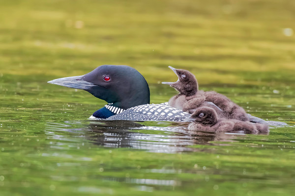 Loons & Other Quabin Friends