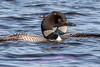 Loon on the Ausable River, Cooke Dam Pond.