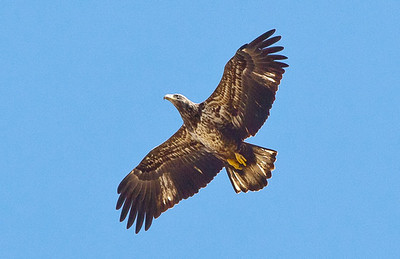 Bald Eagle, juvenile coloration, overhead at the National Wildlife Sanctuary on Tamiami Trail