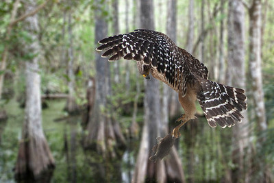 Red-shouldered Hawk with fish at Sweetwater Strand, Florida Everglades