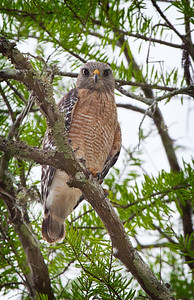 Red-shouldered Hawk in cypress tree at Sweetwater Strand, Florida Everglades