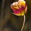 Plummer's Mariposa Lily (Calochortus plummerae)
