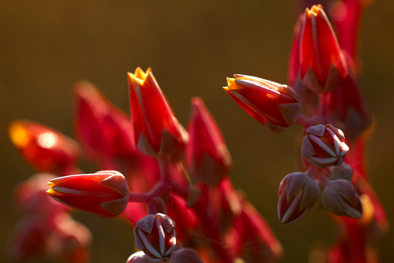Southern California Dudleya (Dudleya lanceolata)