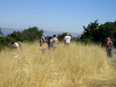 Volunteers in a meadow, looking for star thistle to yank.