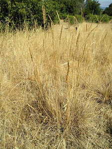A clump of the native bunch grasses that we're trying to protect and encourage. Probably a fescue, says the ranger. Looks dry, but inside the clump, still a little green.