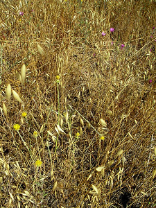 Here's a big glop of yellow star thistle with several bright pink clarkia in the background.