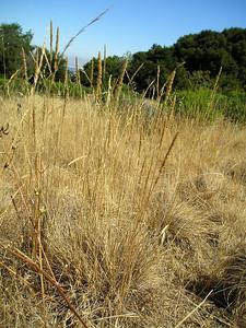 Native clump grass meadow.