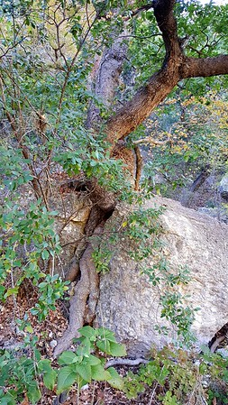 Interesting tree growing in a split rock. I don't know which came first.