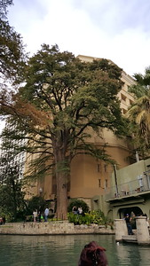 Old Cypress, which reportedly had a Mexican sniper on it around the days of the Alamo.