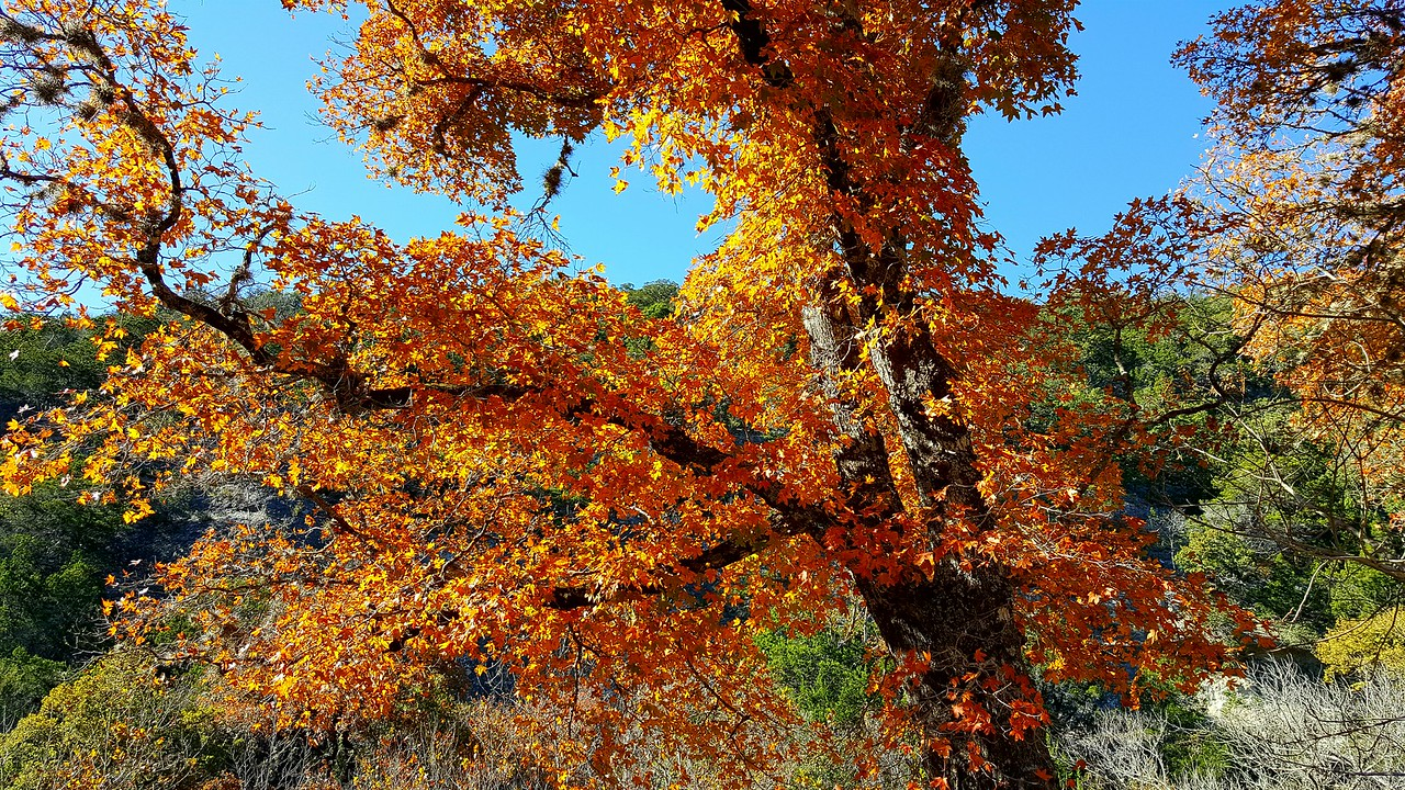 A pretty maple