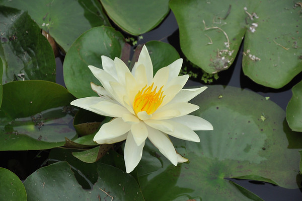 Lotus & Lilies 2009