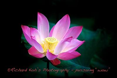 Lotus Passion