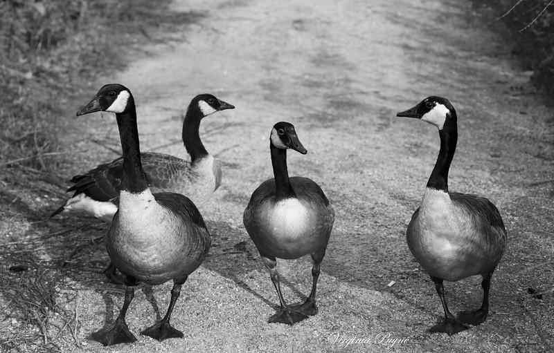 """""""一家人"""" - Mother goose leading 3 little goslings."""