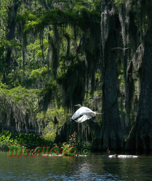 Great Egret at Lake Martin near Breaux Bridge Louisiana.  Shot from a kayak.