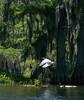 Great Egret at Lake Martin near Breaux Bridge Louisiana.  Shot from a kayak.