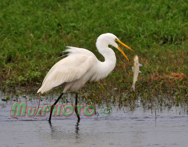 Great Egret in the Bonnet Carre Spillway, flipping his fish around to swallow head first