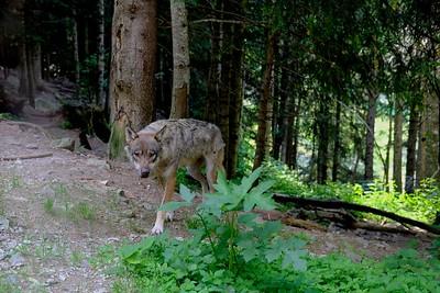 Loups du parc Alpha