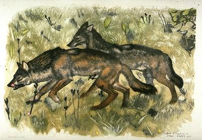Couple de loups