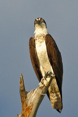 Osprey near its nest