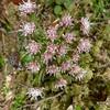 Coltsfoot (Petasites frigidus var. palmatus)
