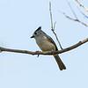 2016_ black-crested titmouse2_ Frontera Audubon Preserve_ LRGV TX_MG_1924