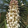 2016_ blooming yucca_Bentsen Rio Grande SP TX_P1060446