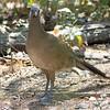 2016_ plain chachalaca_ Frontera Audubon Preserve_LRGV TX_IMG_1872