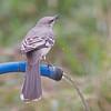 2016_ northern mockingbird_Bentsen-Rio Grande SP_LRGV TX_IMG_2094