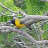 2016_ Audubon's oriole_Bentsen-Rio Grande SP_ LRGV TX_IMG_2027