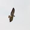 2016_ white-tailed hawk_ LRGV TX_IMG_2227