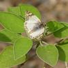 2016_ laviana white-skipper__Butterfly Center LRGV TX_P1060392