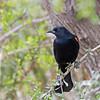2016_ red-winged blackbird_ Bentsen-Rio Grande SP_ LRGV TX_IMG_2076
