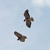 2016_ white-tailed hawks_ LRGV TX_IMG_2215
