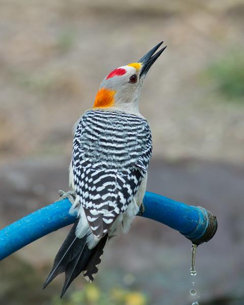 2016_golden-fronted woodpecker_ Bentsen-Rio Grande SP_LRGV TX_IMG_2558