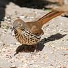 2016_ long-billed thrasher_ Frontera Audubon Preserve_ LRGV TX_IMG_1932