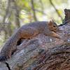 2016_ Eastern fox squirrel_ Frontera Audubon Preserve_ LRGV TX_IMG_1895