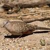2016_inca dove_Frontera Audubon Preserve2_ LRGV TX_IMG_1922