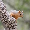 2016_ Eastern fox squirrel_Bentsen-RIo Grande SP_ LRGV TX_IMG_2100