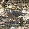 2016_ white-tipped dove_ Frontera Audubon Preserve_ LRGV TX_IMG_1893