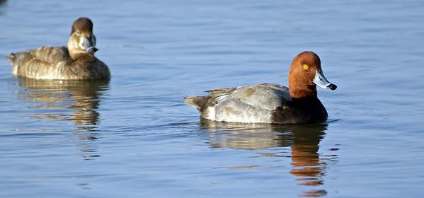 Redhead Ducks, male and female