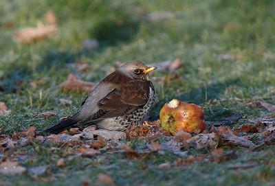 Fieldfare on frosty morning