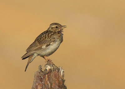 Woodlark singing